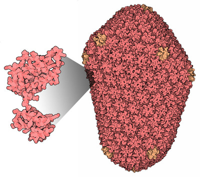 Mature HIV-1 capsid structure courtesy of David Goodsell